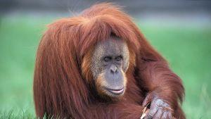 En orangutang från Sumatra