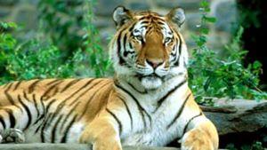 Sibirisk tiger