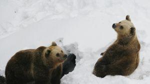Björnarna leker i snön.
