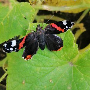 orange och svart fjäril