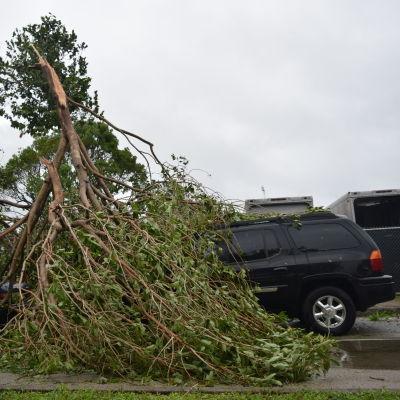 Ett träd har fallit på bilar.