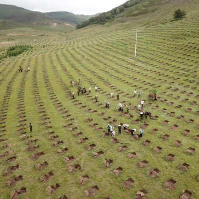 Människor planterar tallar i Kina.