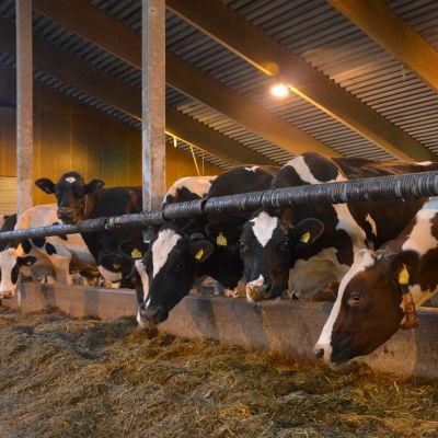 Kor i en ladugård. De står i rad och äter.