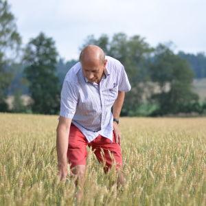 Man i skjorta ute på en veteåker en solig sommardag. Han böjer sig ner och känner på vetet.