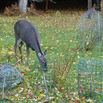 En hjort äter gräs och löv på en gräsmatta. Framför har den buskar ingärdade av nät.