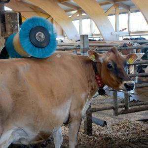 En ko står vid en robot som borstar kons rygg.