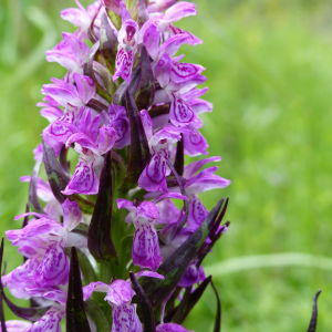 Orkidé på Åland