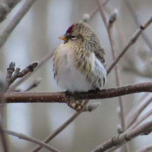 Christine i Vasa undrar vad det är för fågel hon fotograferat. SVAR: Detta är en typisk gråsiska med vit undersida, mörkstrimmig grå ovansida,svart hakfläck, röd pannfläck och kort gul näbb.