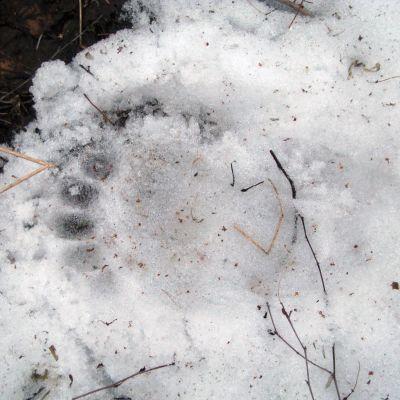 Karhun jälki Kolilla