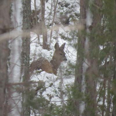 Ett rådjur i skogen