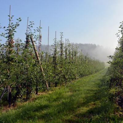 Äppelträd i långa rader på en äppelodling.