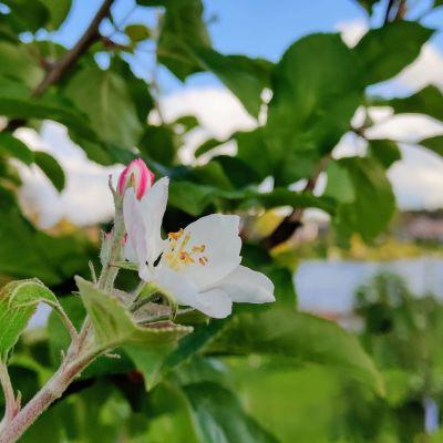 Omena kukkii syyskuussa