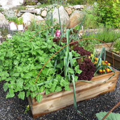 En del av en köksträdgård med grönsaksodling i en pallkrage. I den växer spenat, purjolök, sallat och tagetes.