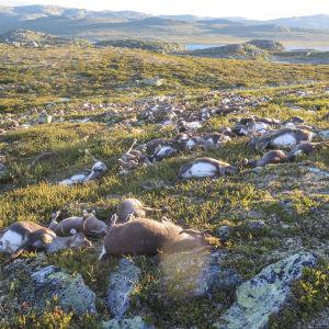 Över 300 vildrenar har hittats döda på Hardangevidda i Norge.