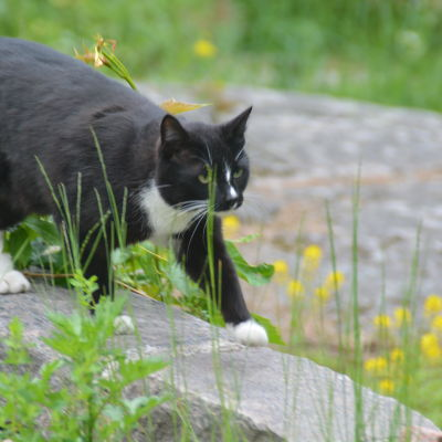 Katt i Villa Lilius trädgård i Hangö.