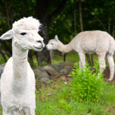 Alpackaullet sägs vara flera gånger varmare än fårull.