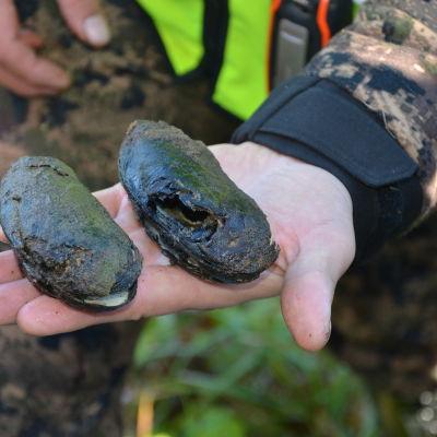 Flodpärlmusslor som är fångade i Billnäs. Dessa är döda.