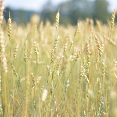 Närbild på vete på ett fält.
