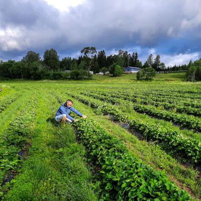 En man sitter på huk i ett jordgubbsland.