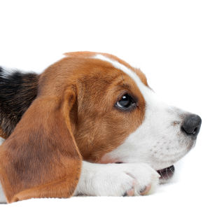 En hund av rasen Beagle ligger på ett vitt golv. Hunden ser lite ledsen ut.