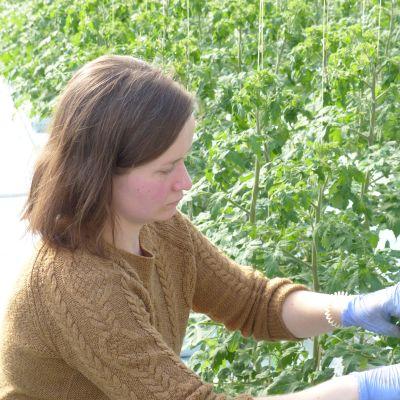 """Carolina Holmqvist rensar, """"tjuvar"""" tomatplantor i ett växthus"""