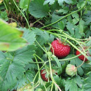 Jordgubbar vid Lill-Breds jordgubbsodling i Ingå.