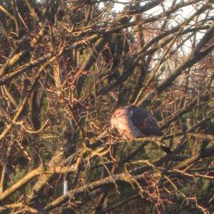 lintu puussa talon pihalla