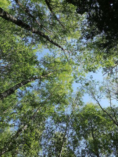 Koivuja metsässä