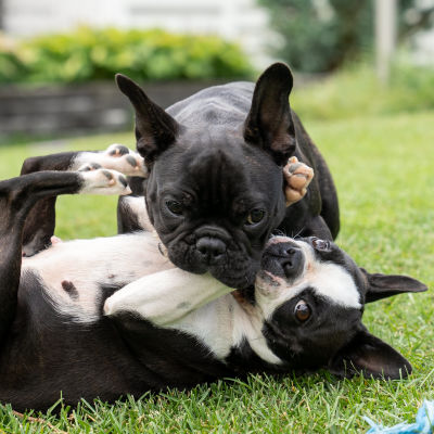En fransk bulldogg och en bostonterrier ligger på en gräsmatta.