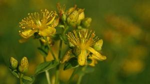 Närbild på en växt med gula blommor.