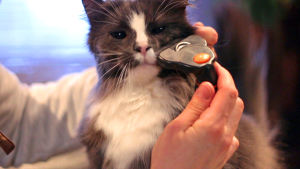 Kissa, jonka naamaa harjataan