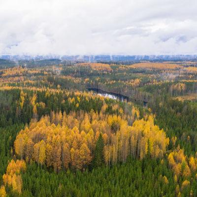 Ruskan värittämää metsää Etelä-Savossa Heinävedellä