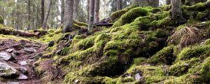 En stig i en backe i en gammal granskog. Vått väder, stenar och trädrötter syns på stigen.