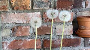 En väg med tegel och maskrosor som väger framför väggen.