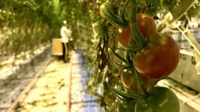tomatplantor i ett växthus