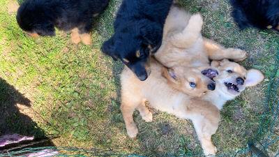 Flera lekfulla hundvalpar i en hög.