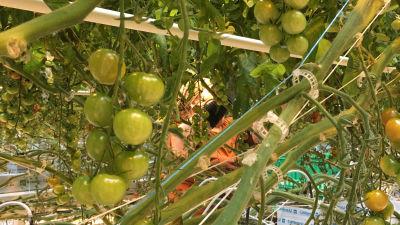 Tomater i växthus.