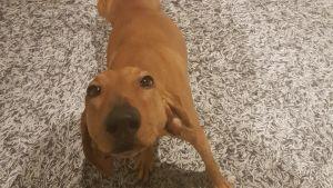 Ruskea koira katsoo ylös kameraan