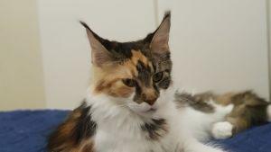 Bortsprungen katt som har anmälts som försvunnen.