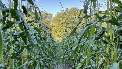 Pickala gård i Sjundeå odlar majs.