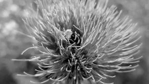 mehiläinen kukassa