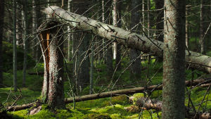 Brusten tallstam i gammal skog med mossbevuxen skogsbotten