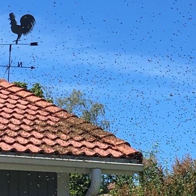 En svärm med bin har ockuperat ett rött tegeltak.