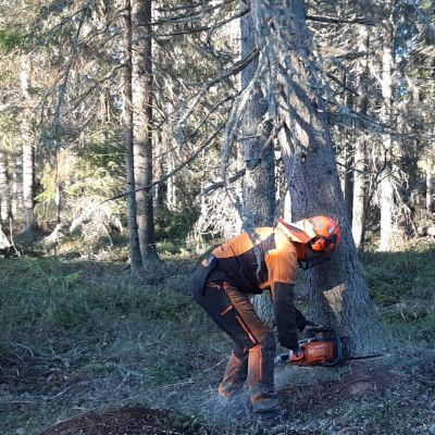 Skogshuggare med motorsåg i granskog.