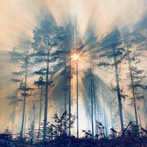 Solsken genom brandrök i barrskog