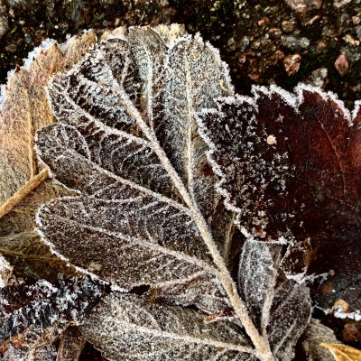 Ett höstlöv med frost på ytan.