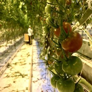 Tomaatteja kasvihuoneessa Närpiössä