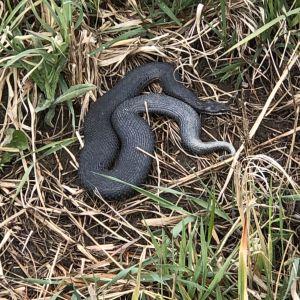 En svart orm bland grässtrån.