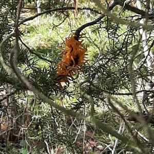 Orangefärgade svampar på enbuske.