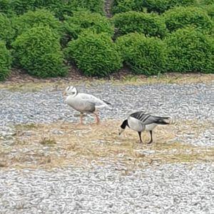 Två gäss i vit och svart fjäderdräkt.